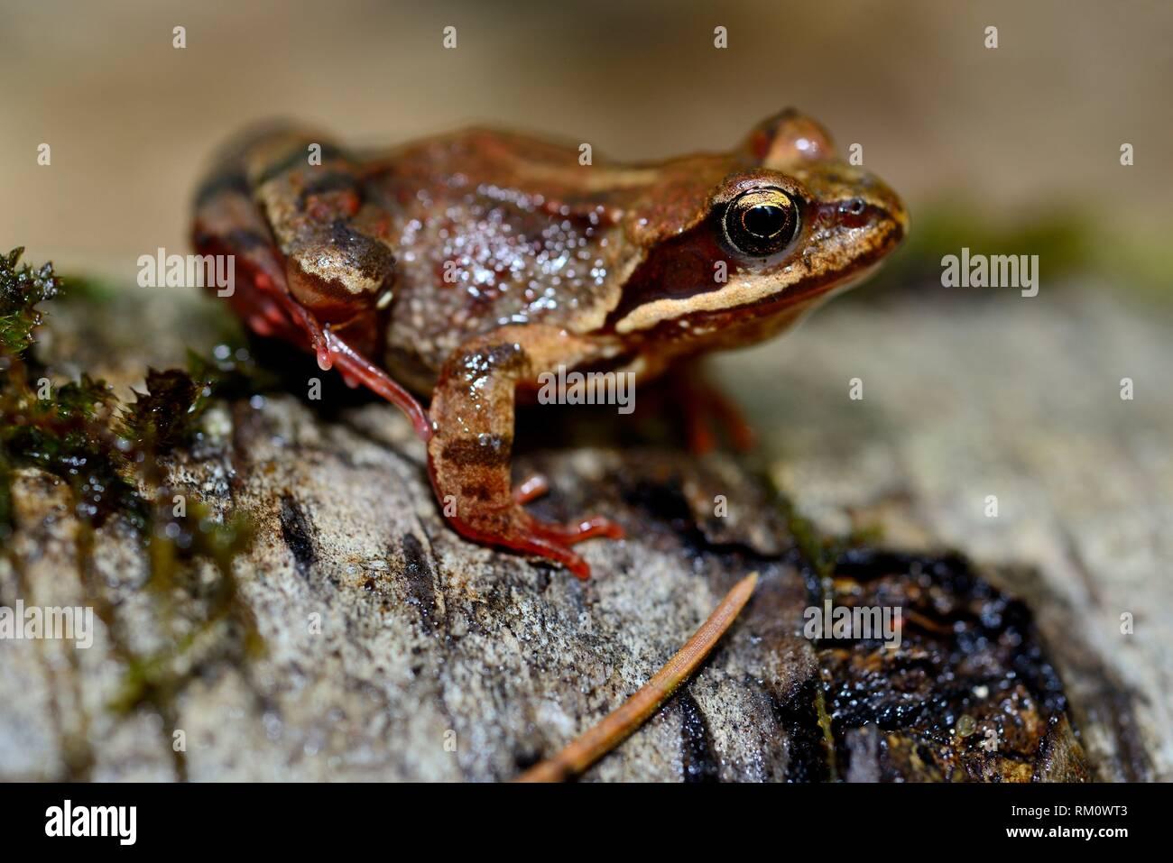 Common frog (Rana temporaria) in Bialowieza forest, Podlasie, Poland. - Stock Image