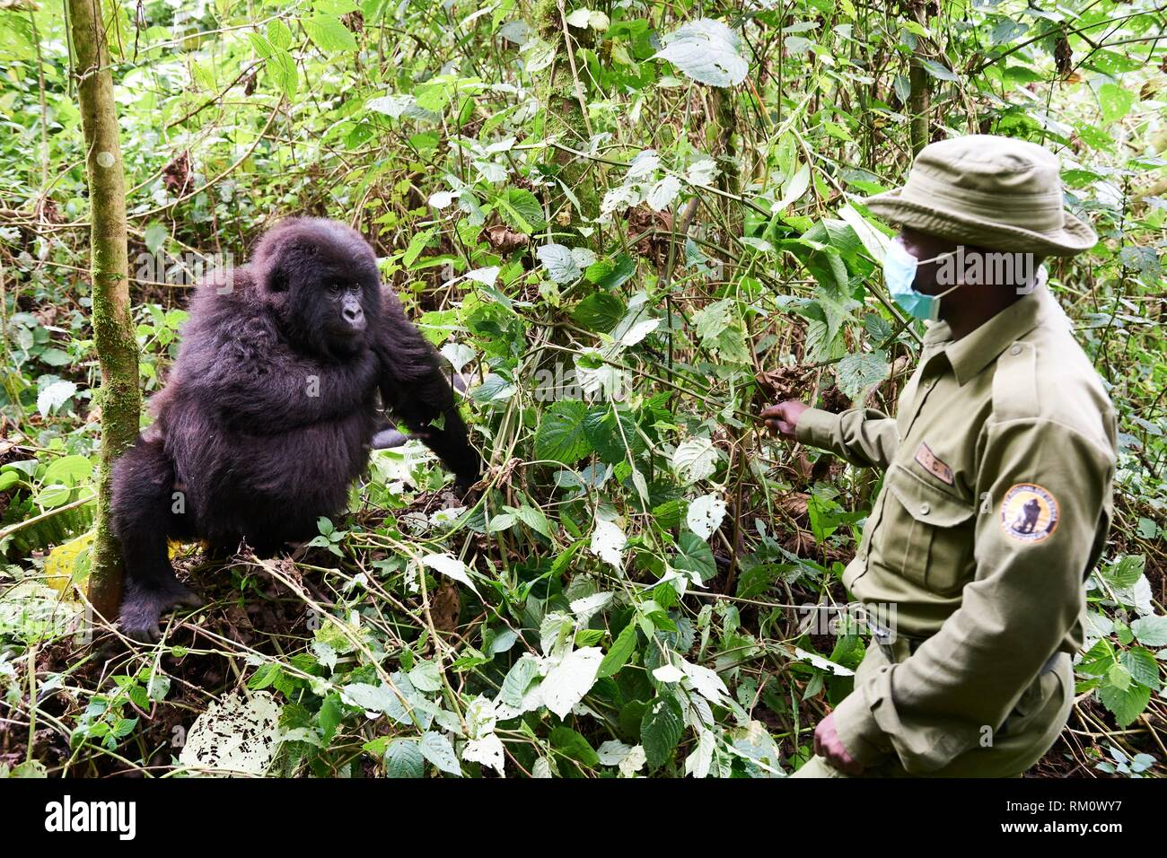 Guard from ICCN - Congolese Institute for the Conservation of Nature - with female Mountain gorilla (Gorilla beringei beringei). All humans have to - Stock Image