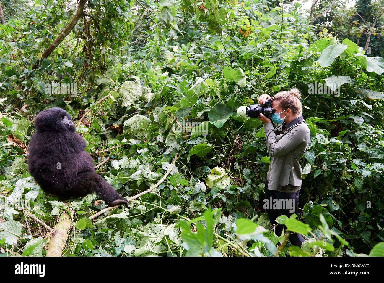 Tourist photographing Mountain gorilla (Gorilla beringei beringei). All humans have to wear safety masks in presence of gorillas to avoid any - Stock Image