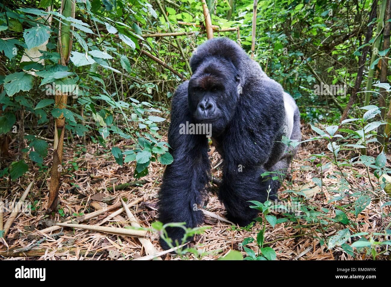 Silverback Mountain gorilla (Gorilla beringei beringei) member of Munyaga group. Virunga National Park, North Kivu, Democratic Republic of Congo, - Stock Image