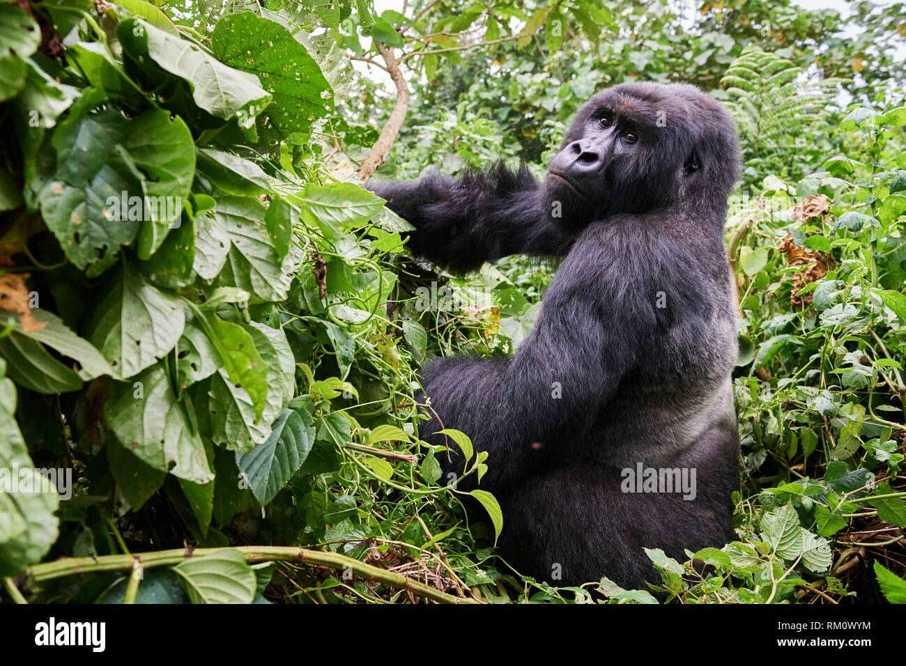 Silverback Mountain gorilla (Gorilla beringei beringei) member of Kabirizi group. Virunga National Park, North Kivu, Democratic Republic of Congo, - Stock Image