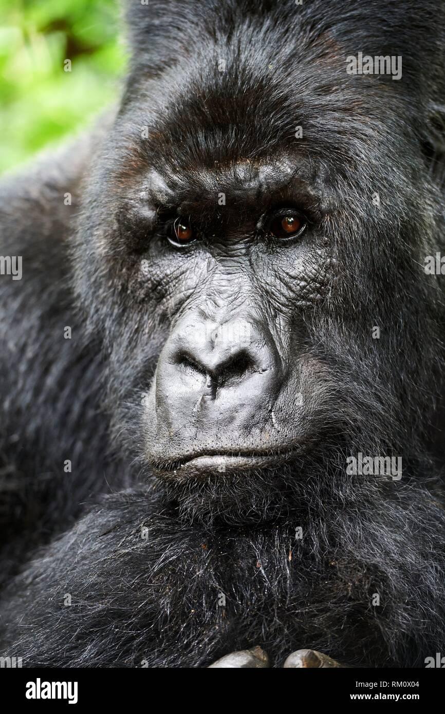 Head portrait of Silverback Mountain gorilla (Gorilla beringei beringei) member of Munyaga group. Virunga National Park, North Kivu, Democratic - Stock Image