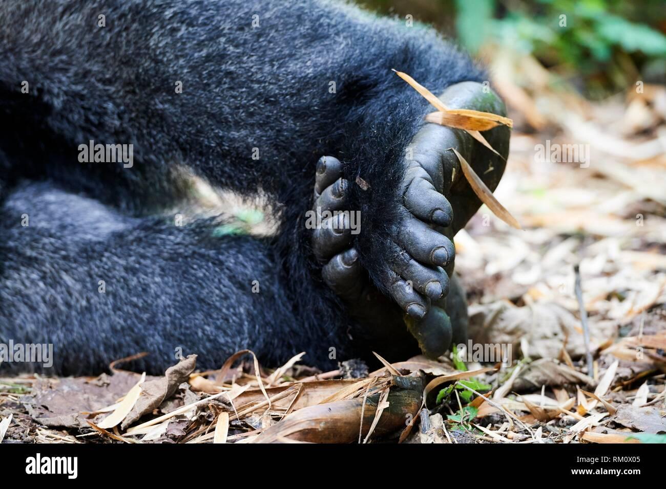Close up on foot of Moutain gorilla (Gorilla beringei beringei) Virunga National Park, North Kivu, Democratic Republic of Congo, Africa. - Stock Image