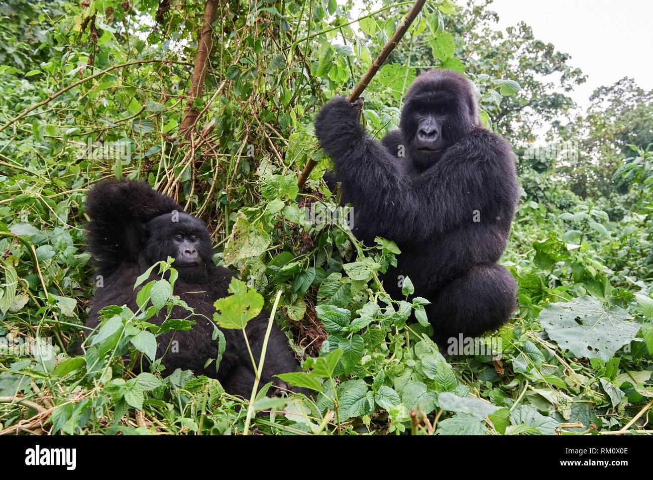 Silverback Mountain gorilla (Gorilla beringei beringei) with female. Virunga National Park, North Kivu, Democratic Republic of Congo, Africa. - Stock Image