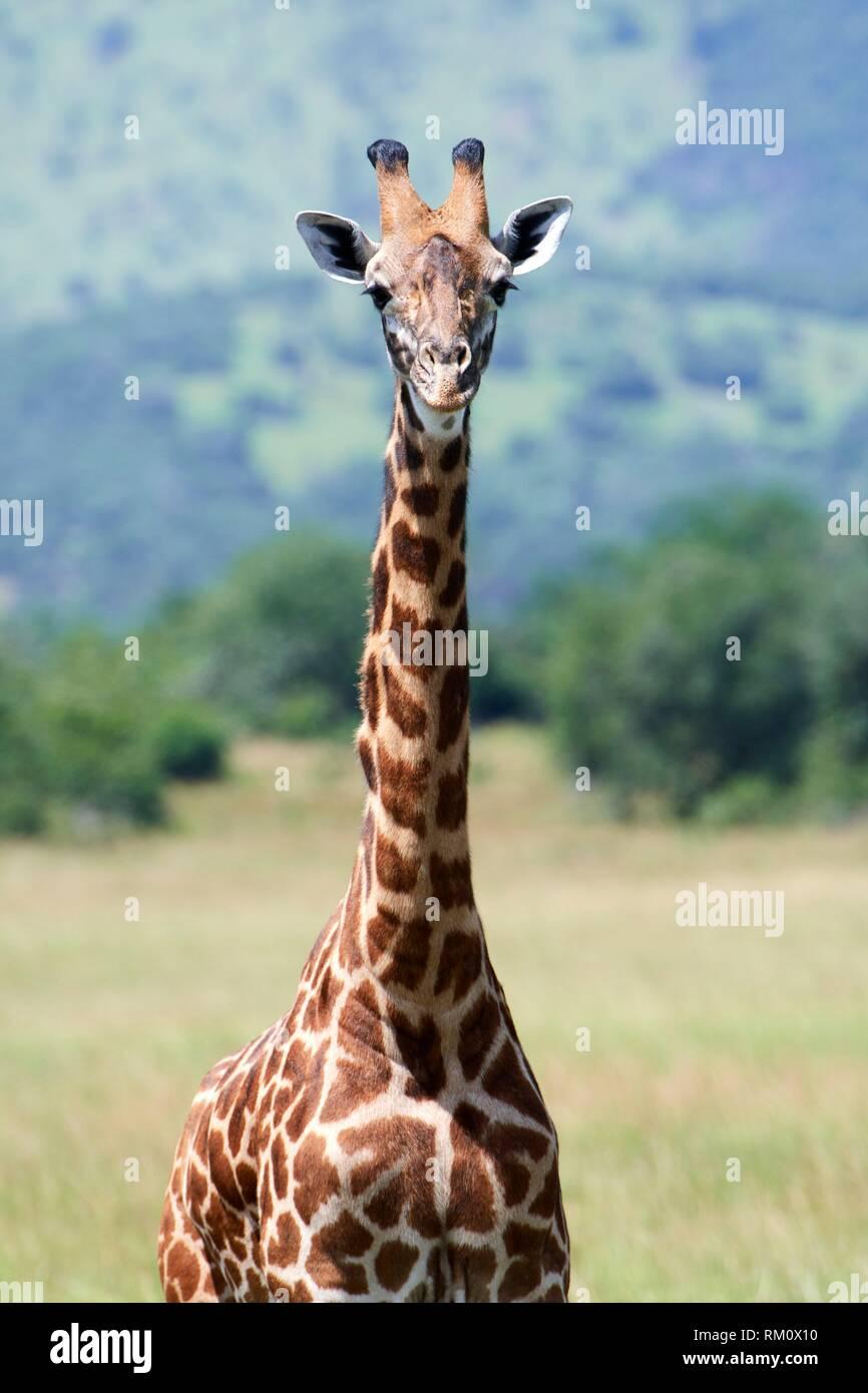Portrait of Maasai giraffe (Giraffa camelopardalis tippelskirchi), Akagera National Parc, Rwanda, Africa. - Stock Image