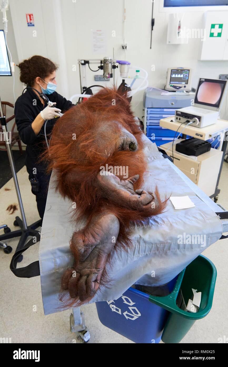 Veterinarian practising endoscopy on a female Orangutan (Pongo pygmaeus) under anaesthetic, having a pulmonary infection, surgery station of Zooparc - Stock Image