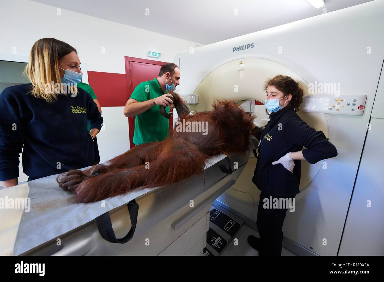 Female Orangutan (Pongo pygmaeus) under anaesthetic and undergoing an RMI scanner in the surgery station of the zoo, Zooparc Beauval, France, October - Stock Image