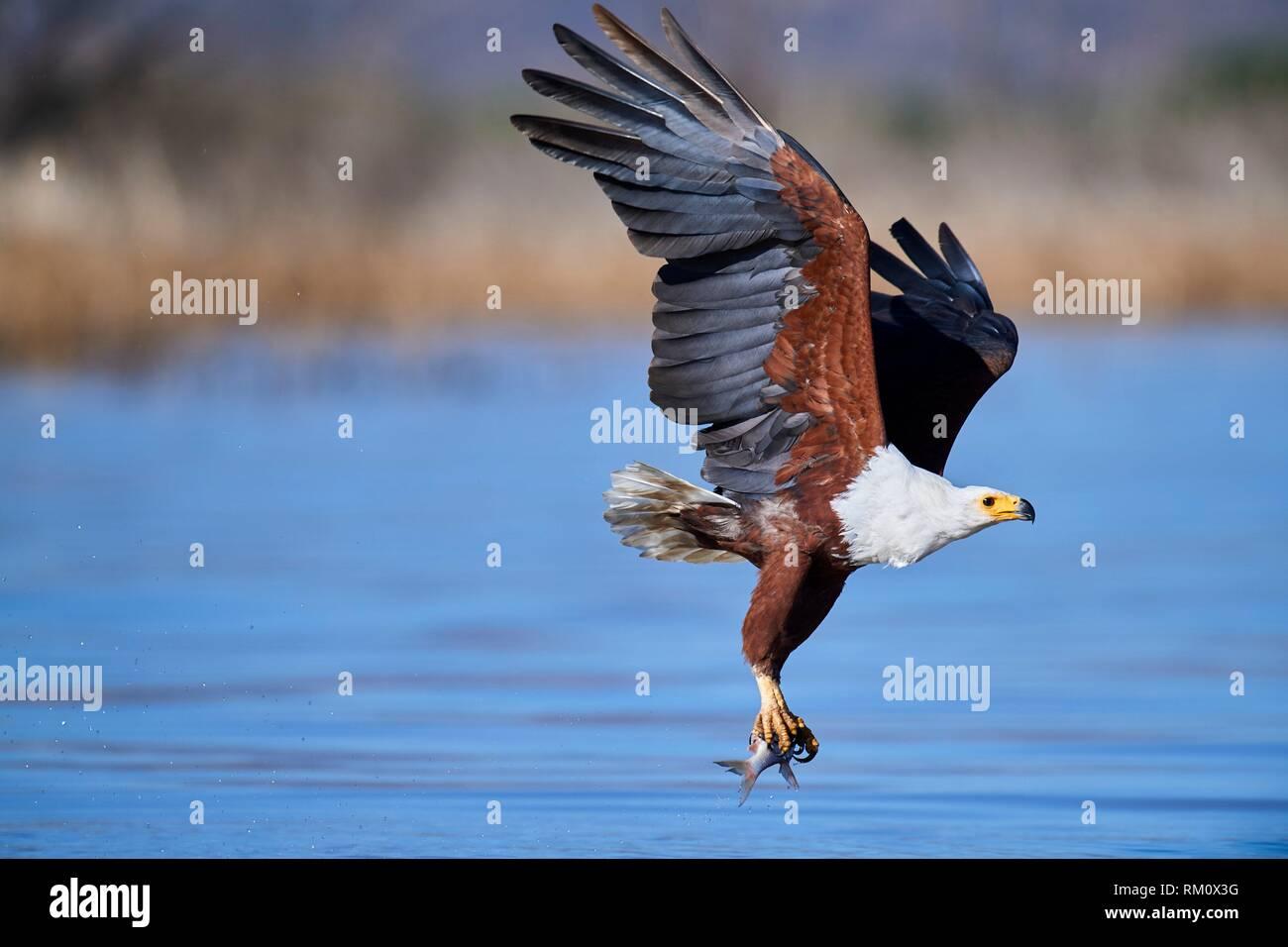 African fish eagle (Haliaeetus vocifer) fishing, Baringo lake, Kenya, Africa. Stock Photo