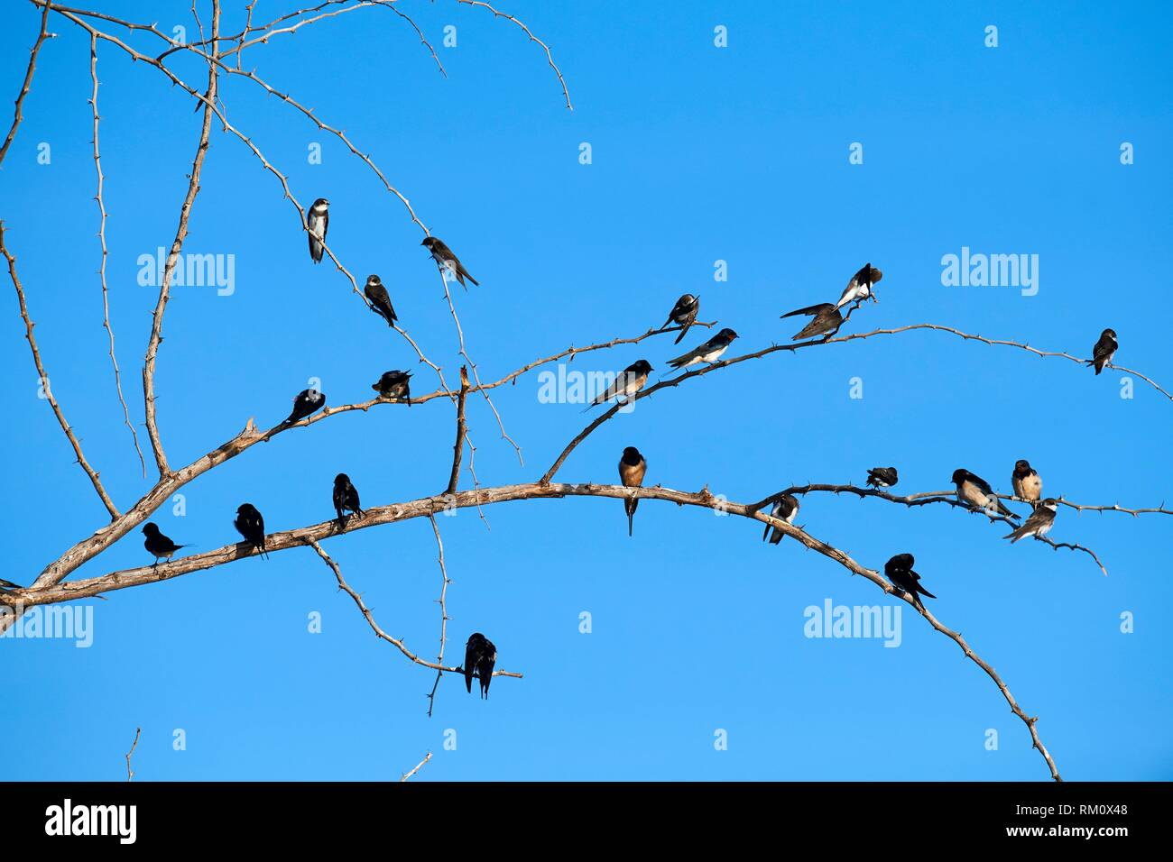 Barn swallow (Hirundo rustica) perched on branch. Baringo lake. Kenya, Africa. - Stock Image