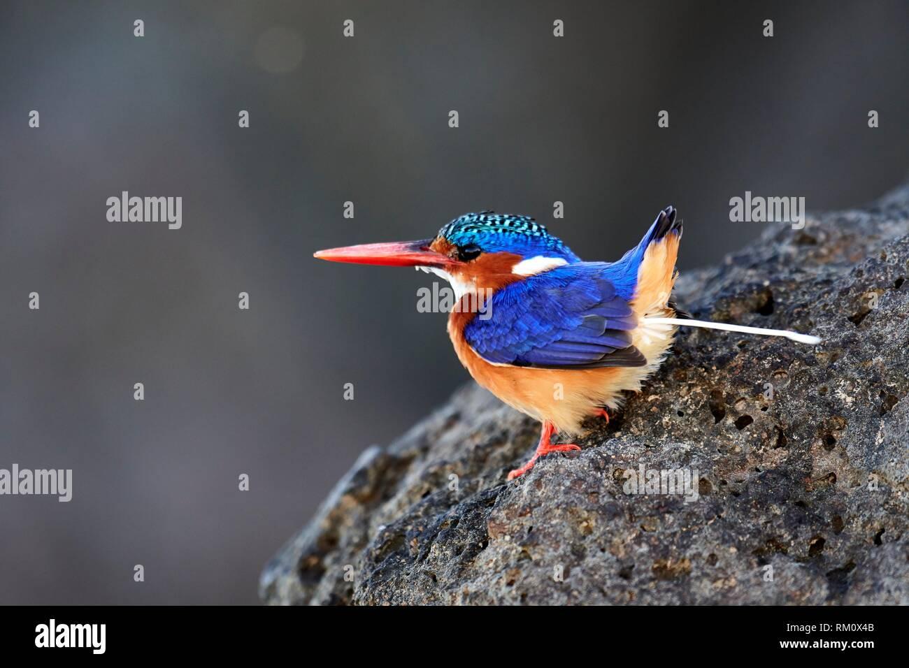 Malachite kingfisher (Corythomis cristatus) defecating on stone. Baringo lake. Kenya, Africa. - Stock Image