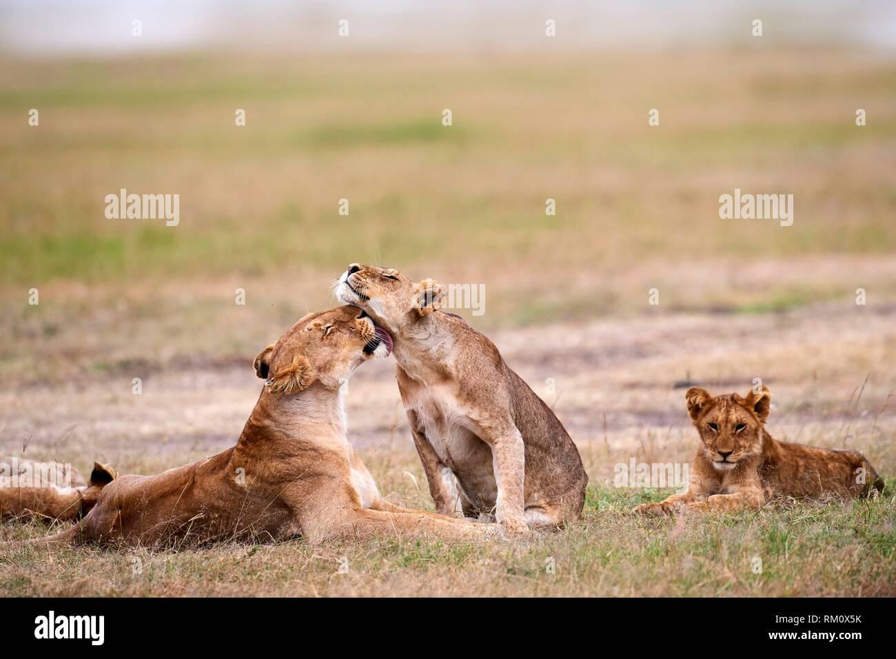 African Lion (Panthera leo), lionesses greeting, Masai Mara National Reserve, Kenya, Africa. - Stock Image