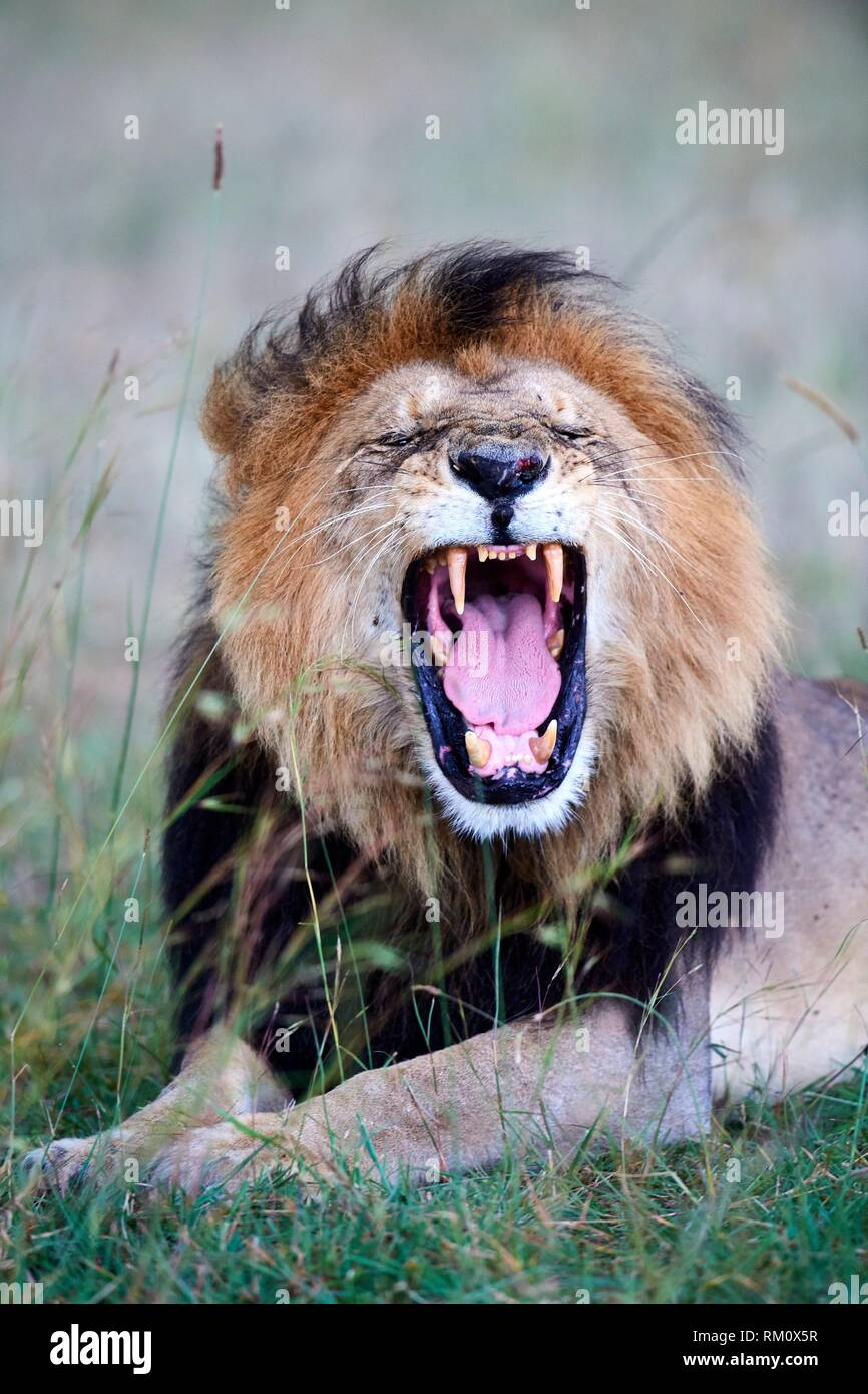 African Lion (Panthera leo) male yawning, Masai Mara National Reserve, Kenya, Africa. - Stock Image
