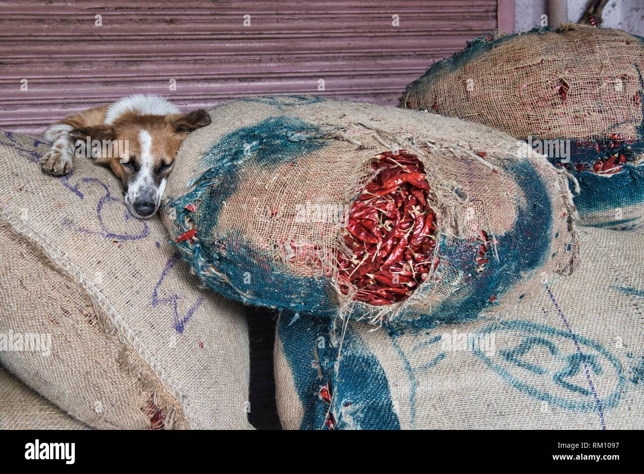 Let sleeping dogs lie, dog on top of chiles in the Khari Baoli Spice Market, Old Delhi, India. - Stock Image