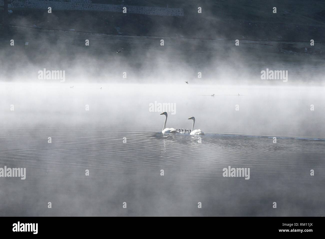 Swans and their brood, Yaze Lake, Kanas Lake National Park, Xinjiang, China. - Stock Image