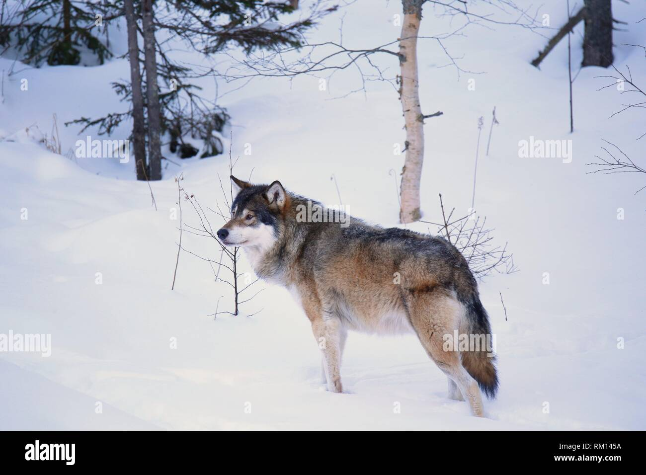Wolf (Canis lupus), Dalarna, Sweden - Stock Image