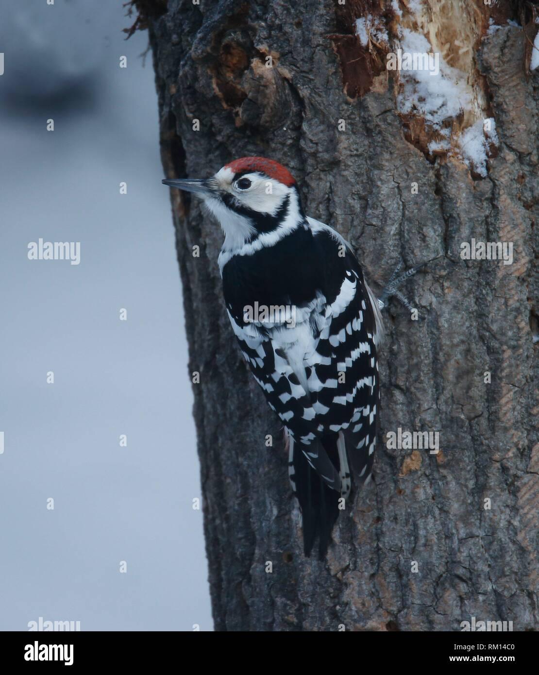 Woodpecker (Dendrocopos leucotos). Skansen, Stockholm, Sweden - Stock Image