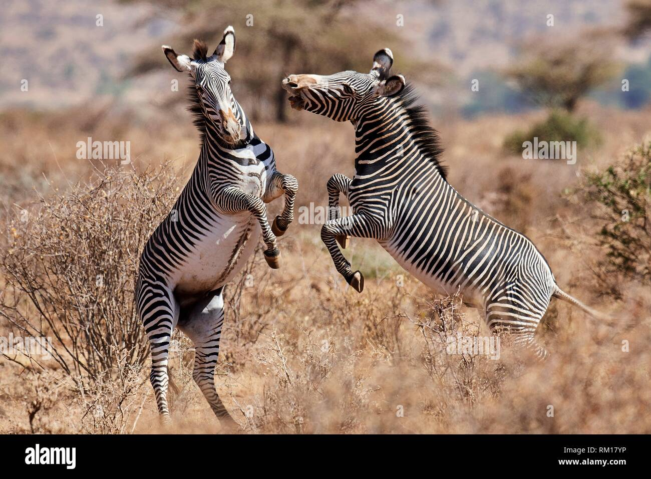 Grevy zebra stallions fighting {Equus grevyi} Samburu National Reserve, Kenya, Africa. Stock Photo