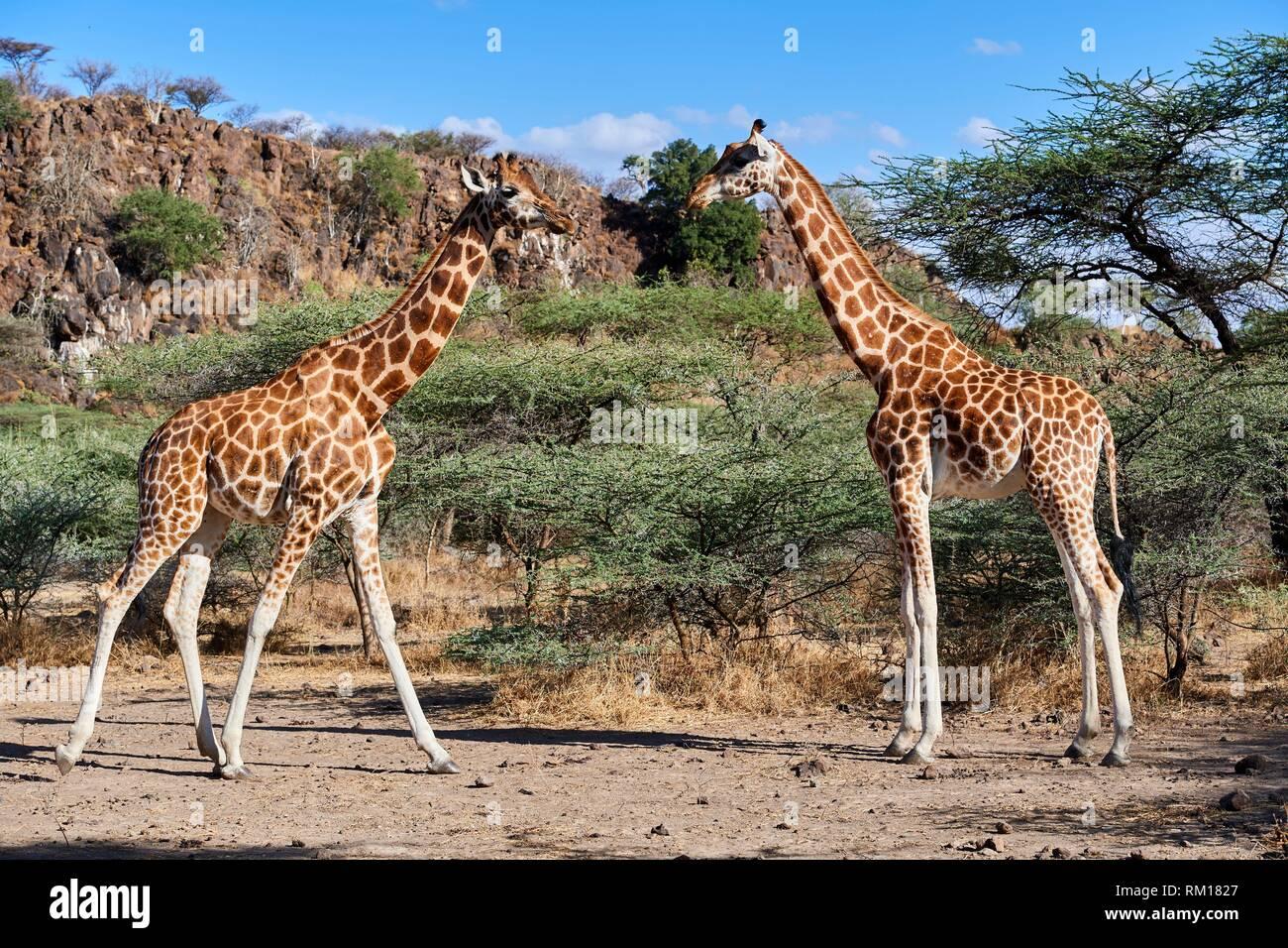 Rothschild giraffe (Giraffa camelopardalis rothschildi) group, Ruko Conservancy island, Lake Baringo, Kenya, Africa. - Stock Image
