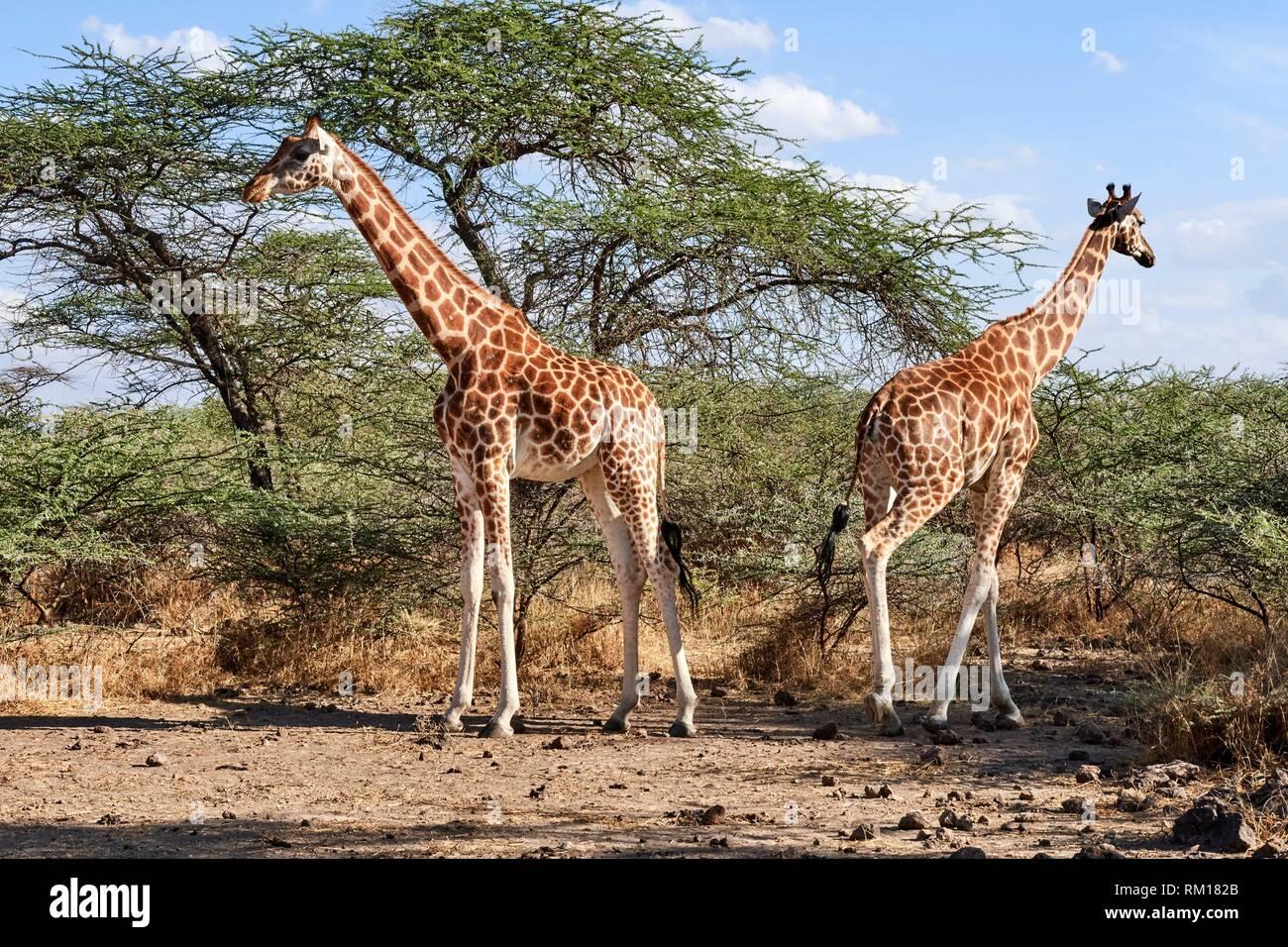 Rothschild giraffe (Giraffa camelopardalis rothschildi) Ruko Conservancy island, Lake Baringo, Kenya, Africa. Stock Photo