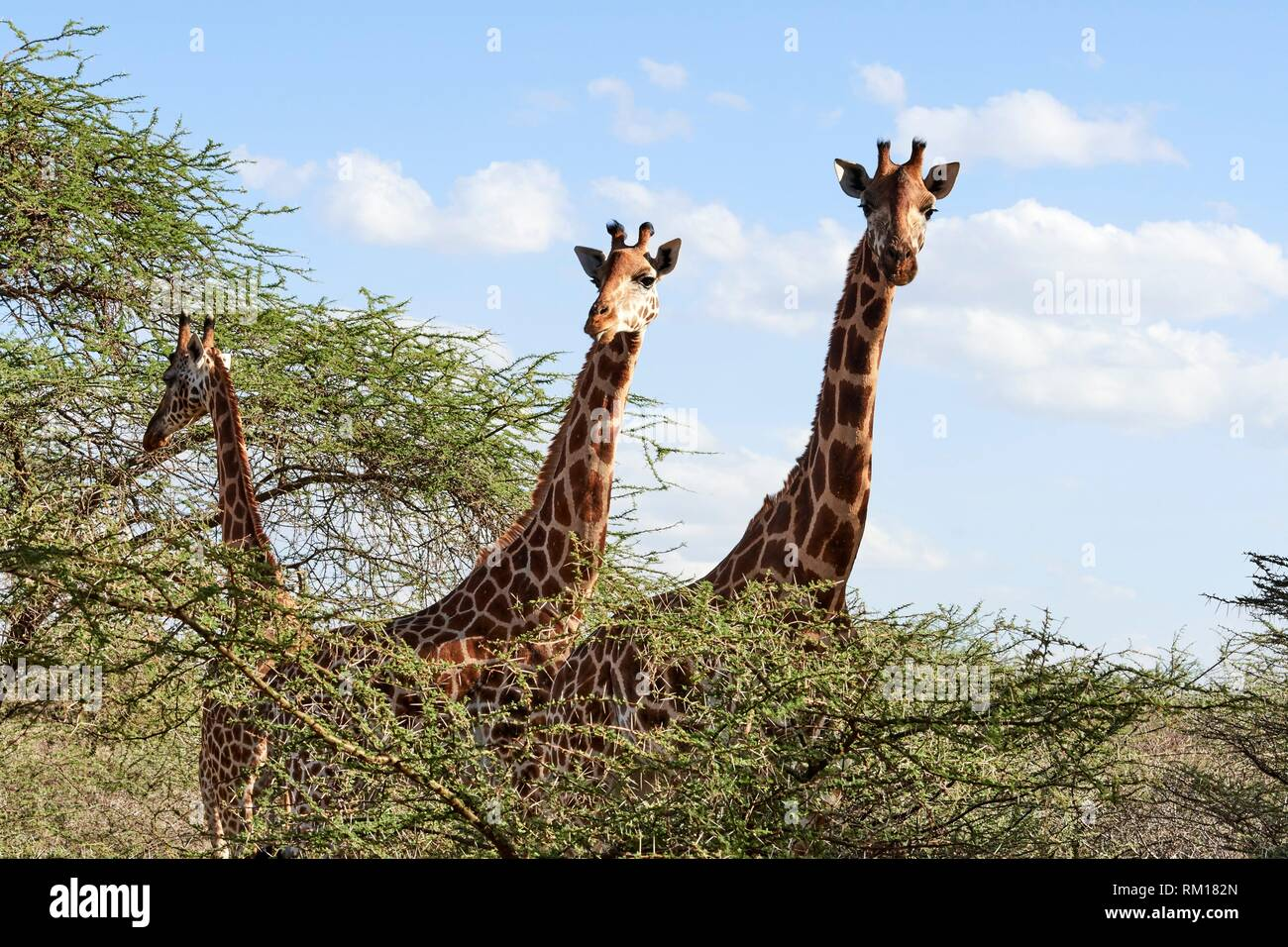 Rothschild giraffe (Giraffa camelopardalis rothschildi) group, head and neck, Ruko Conservancy island, Lake Baringo, Kenya, Africa. - Stock Image