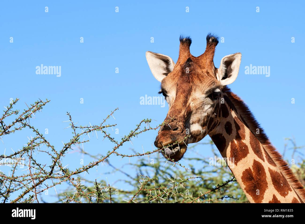 Rothschild giraffe (Giraffa camelopardalis rothschildi) fedding on acacia leaves, Ruko Conservancy island, Lake Baringo, Kenya, Africa. - Stock Image