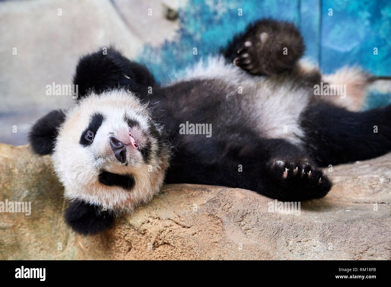 Playful giant panda cub (Ailuropoda melanoleuca) upside down. Yuan Meng, first Giant panda even born in France, now aged 10 months, Beauval Zoo, Stock Photo