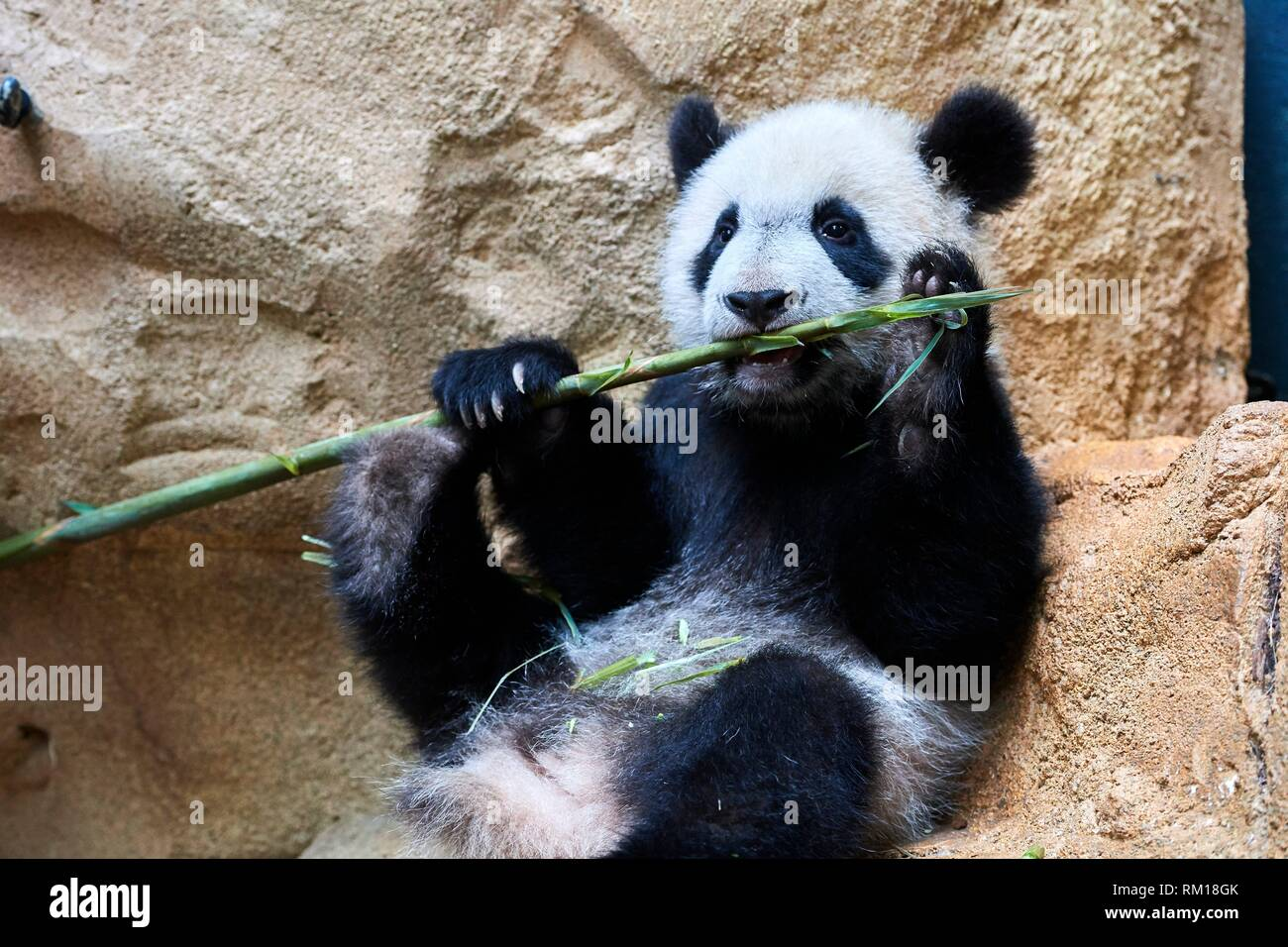 Giant panda cub (Ailuropoda melanoleuca) playfully chewing a bamboo stick. Yuan Meng, first giant panda ever born in France, is now 10 months old and - Stock Image