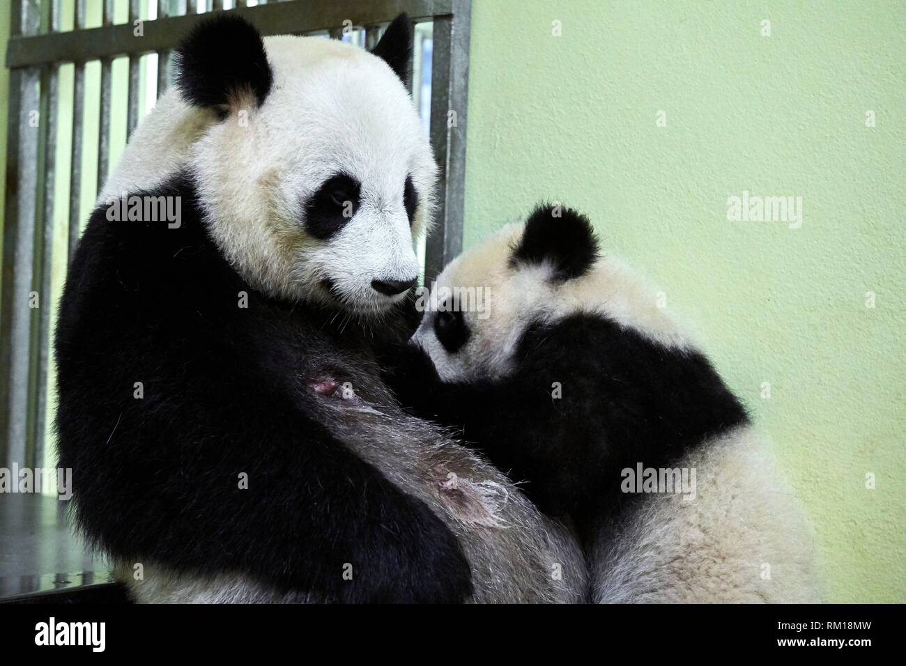Giant panda cub Yuan Meng suckling its mother Huan Huan (Ailuropoda melanoleuca). Yuan Meng, first giant panda ever born in France, is now10 months - Stock Image