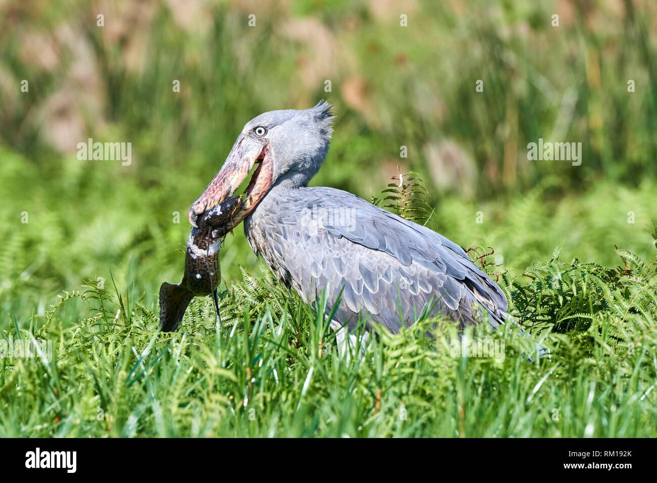 Whale headed / Shoebill stork (Balaeniceps rex) feeding on a Spotted African lungfish (Protopterus dolloi) in the swamps of Mabamba, lake Victoria, - Stock Image