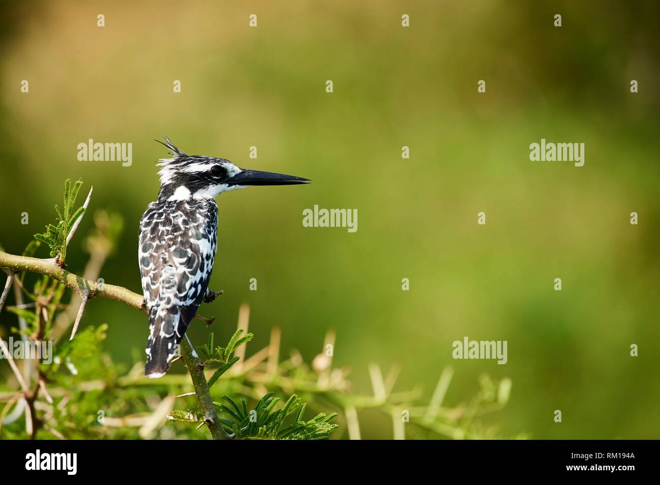 Pied Kingfisher (Ceryle rudis) perched on a branch. Queen Elizabeth National Park, Uganda, Africa. - Stock Image