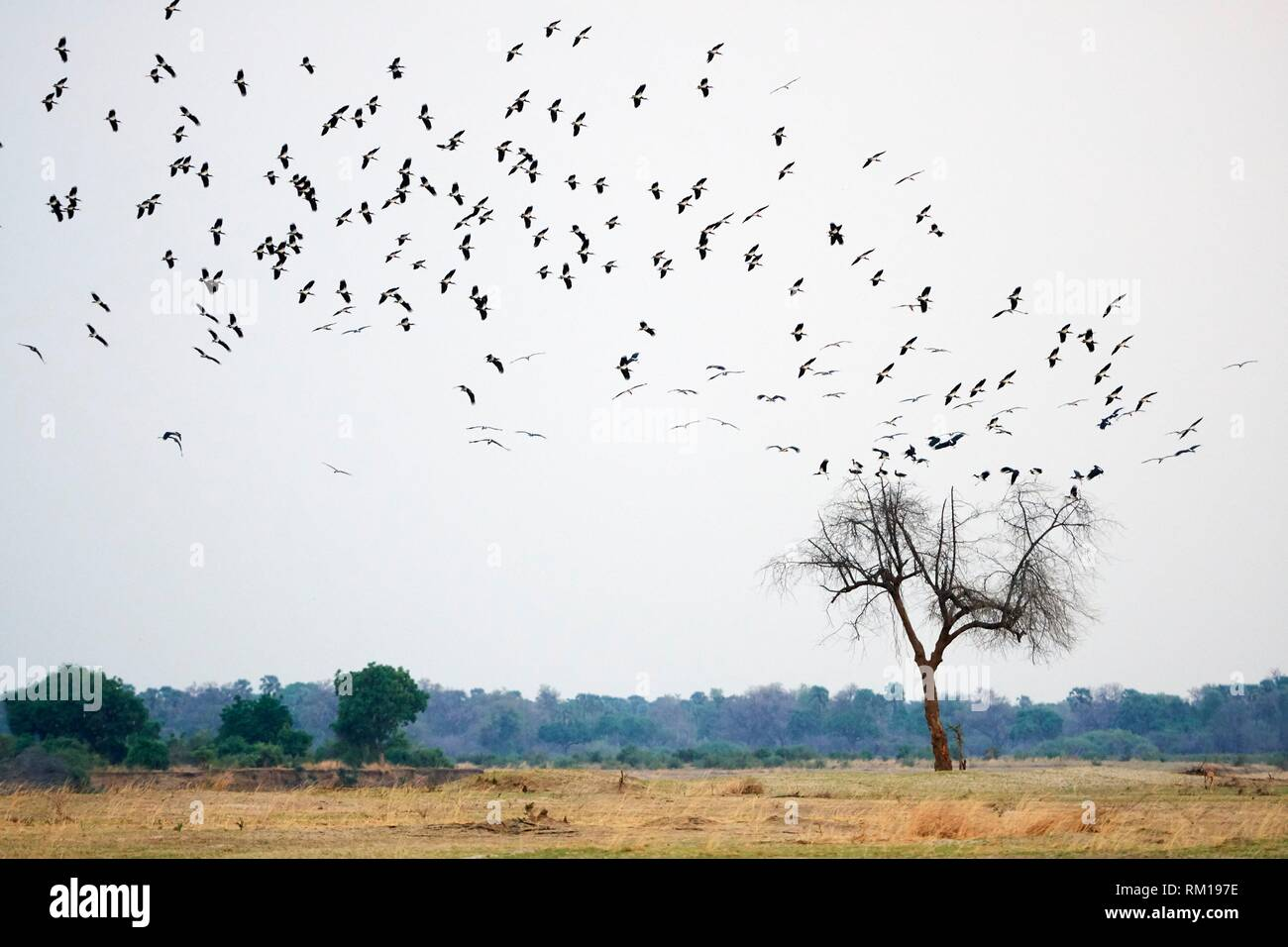 Abdim's stork (Ciconia abdimii) flock on migration arriving to South Luangwa National Park in november for rainy season, Zambia. - Stock Image