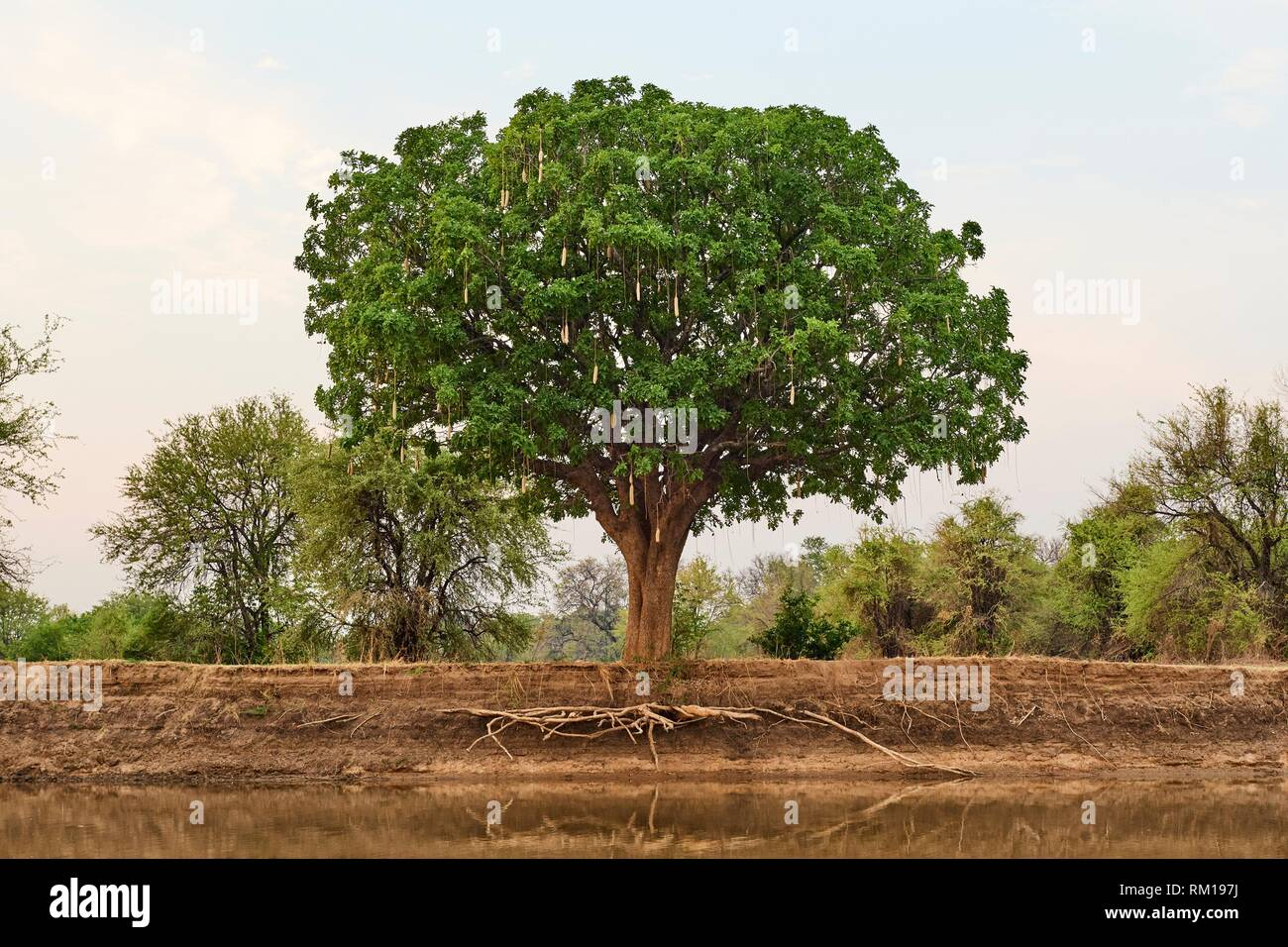 Exposed roots of a sausage tree (Kigelia pinnata) and eroded banks of Luangwa river at dry season, South Luangwa National Park, Zambia. - Stock Image
