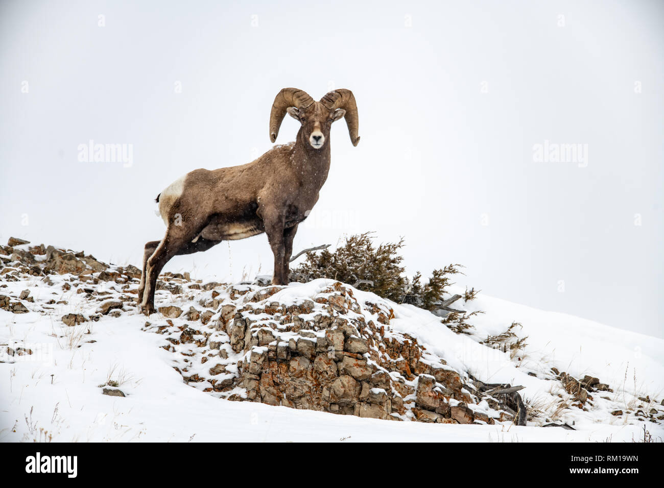 Male bighorn sheep (Ovis canadensis) in Yellowstone National Park in Wyoming, USA Stock Photo