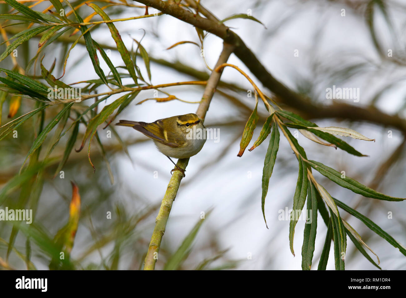 Pallas's Leaf Warbler [Phylloscopus proregulus] - Donna Nook, Lincolnshire Stock Photo