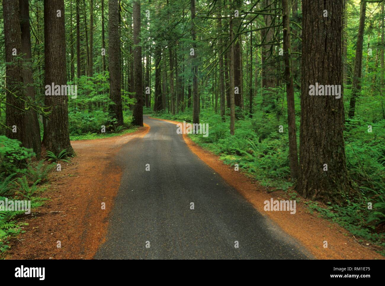 Park road through Ancient forest, Squire Creek County Park, Washington. - Stock Image