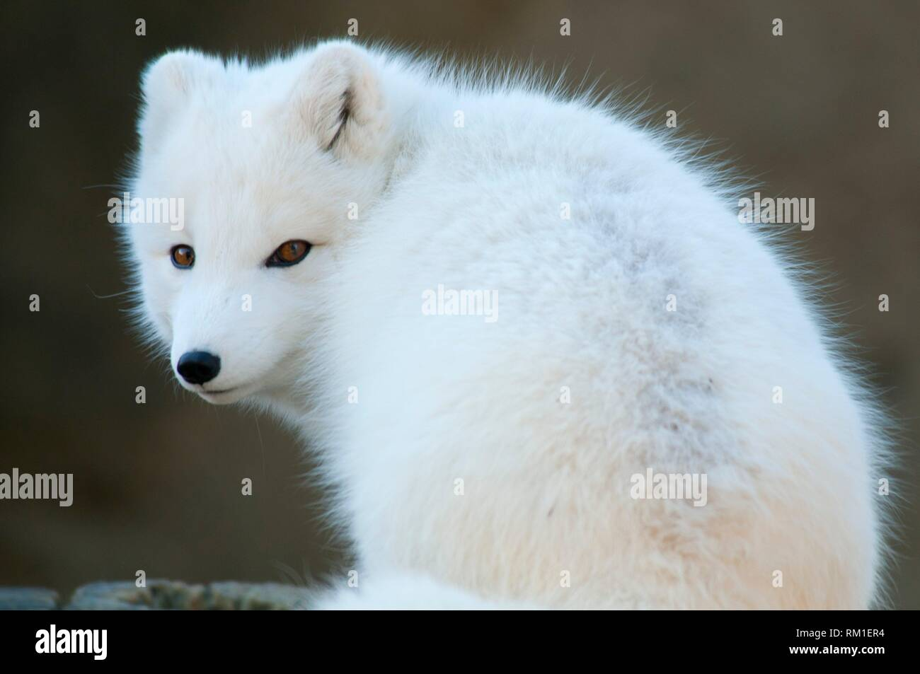 Arctic fox, Point Defiance Zoo and Aquarium, Point Defiance Park, Tacoma, Washington. - Stock Image