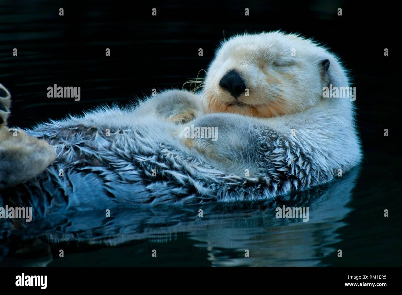 Sea otter, Point Defiance Zoo and Aquarium, Point Defiance Park, Tacoma, Washington. - Stock Image