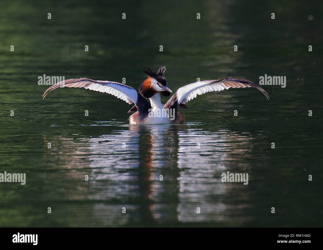 Great Crested Grebe (Podiceps cristatus), Vastervik, Smaland, Sweden - Stock Image