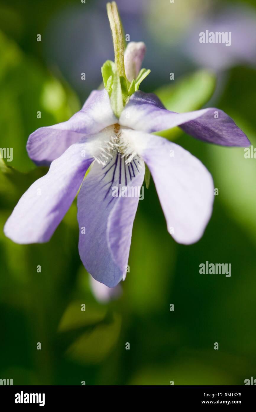 Heath Dog-violet, Viola canina. - Stock Image