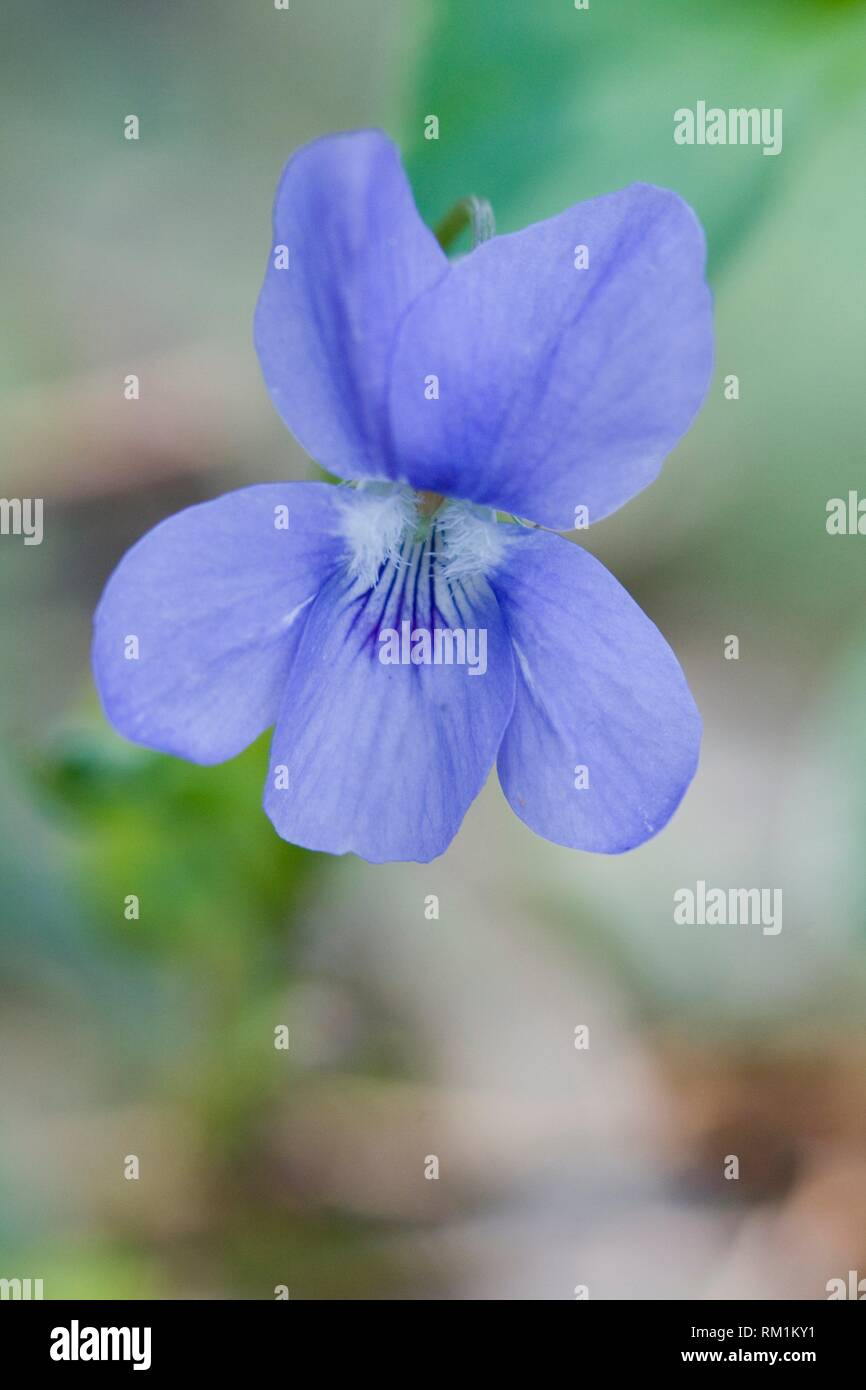 Violet, Viola sp. - Stock Image