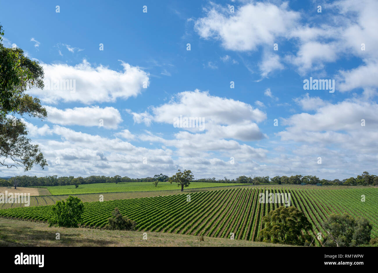 Random vineyards near Echunga, South Australia showing off it's vast rows of grape vines. - Stock Image
