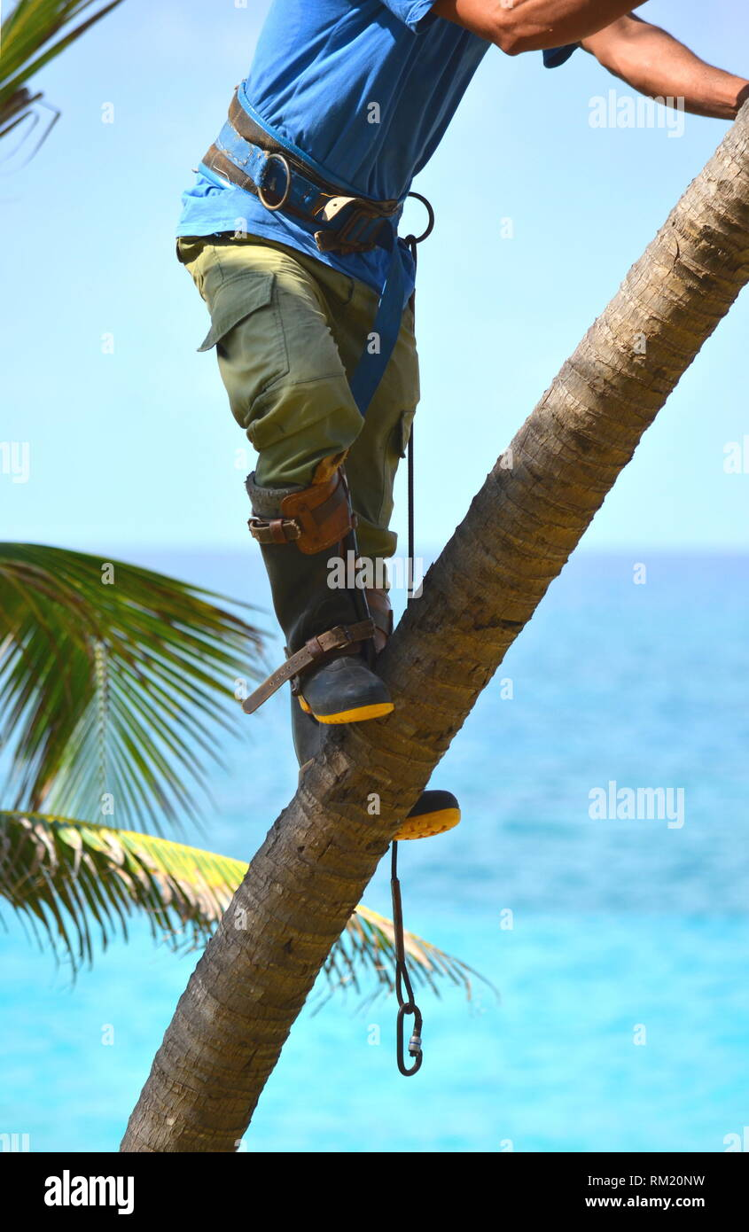 Gardener in harness climbing up a coconut (Cocos nucifera) palm tree