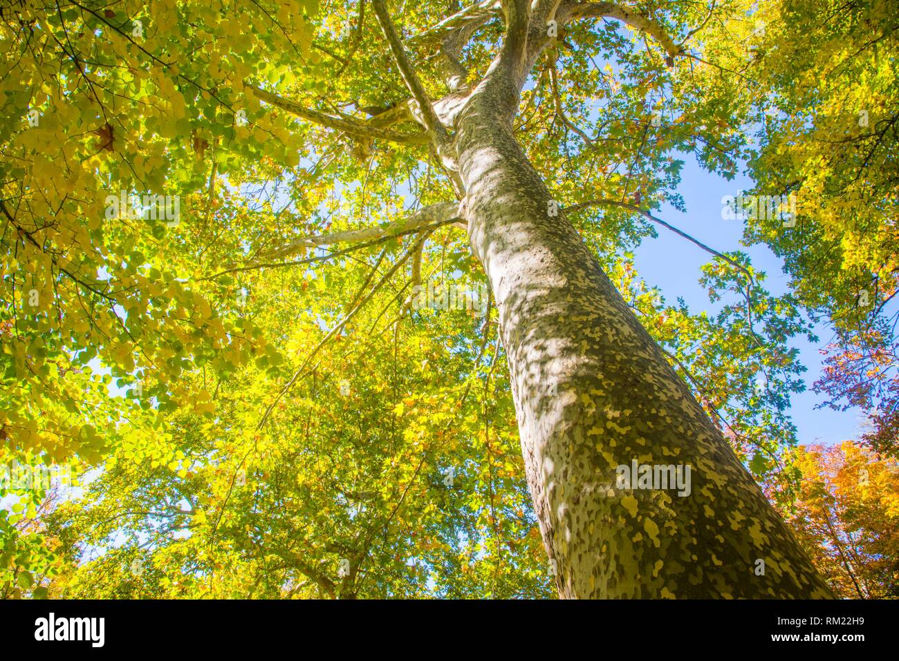 Deciduous tree in Autumn, view from below. - Stock Image