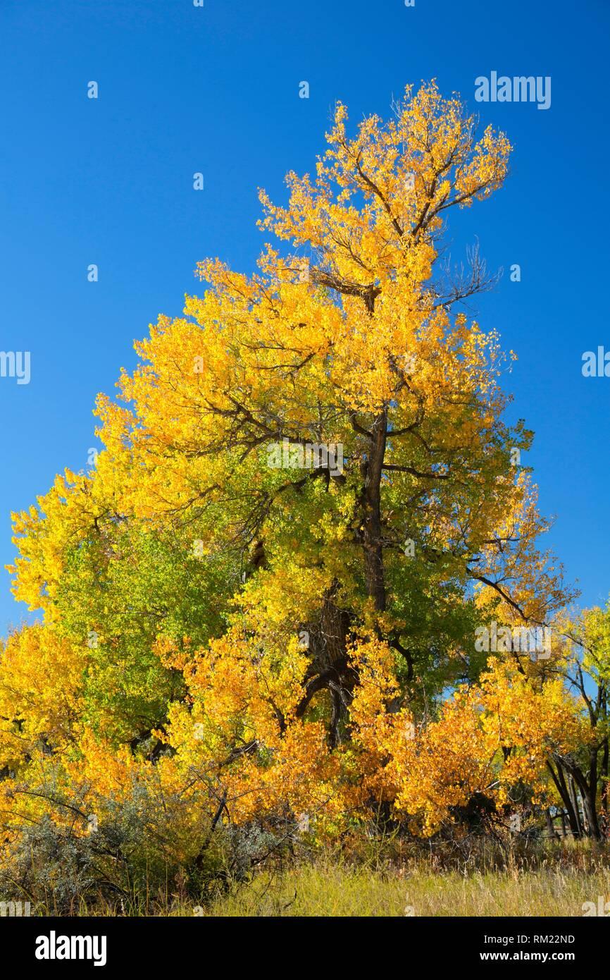 Cottonwood, Grant Marsh Wildlife Management Area, Montana. - Stock Image