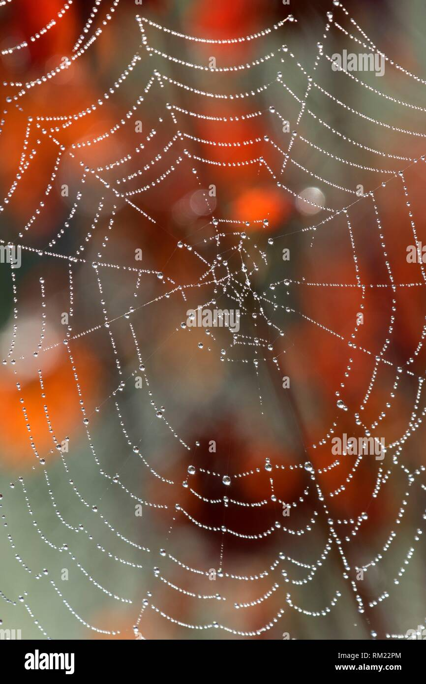 Spiderweb with dew, Talking Water Gardens, Albany, Oregon. - Stock Image