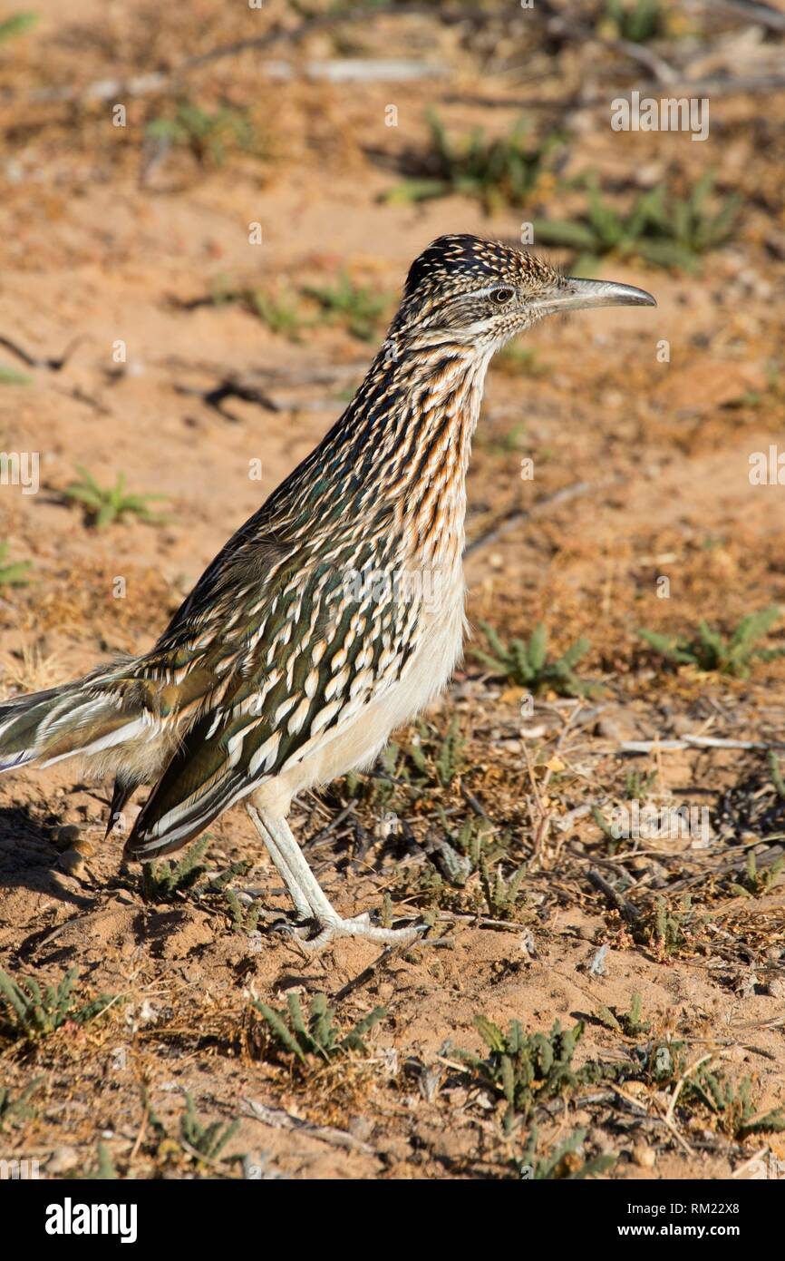 Roadrunner, Petroglyph National Monument, New Mexico. - Stock Image