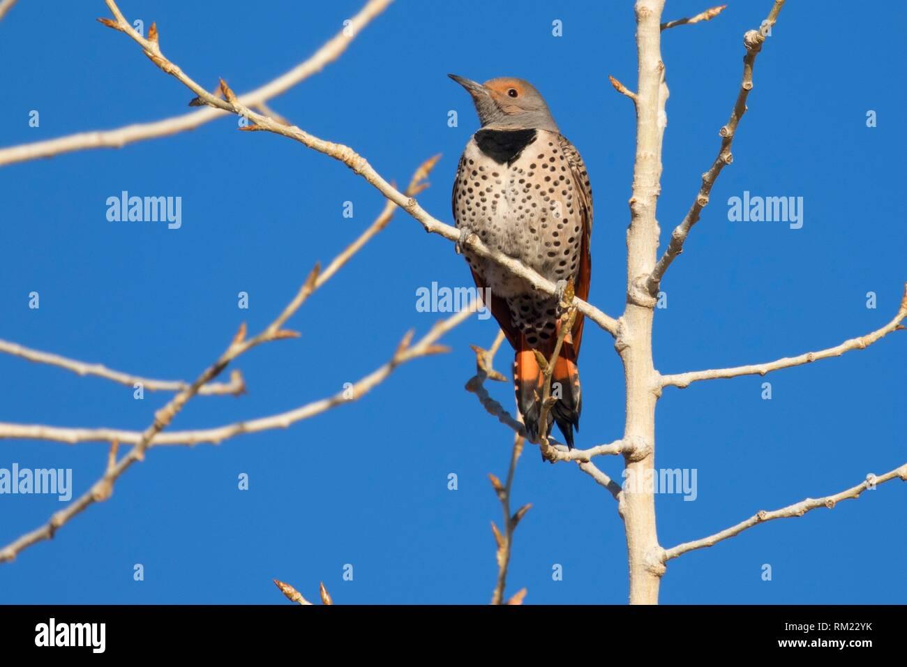 Northern flicker, Bernardo Wildlife Management Area, New Mexico. - Stock Image
