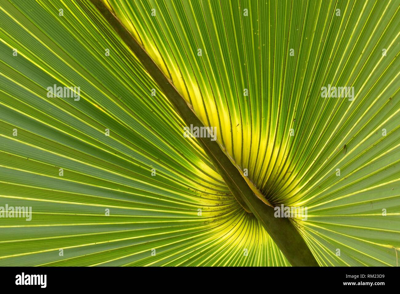 Cabbage palm frond, Enchanted Forest Sanctuary, Florida. - Stock Image