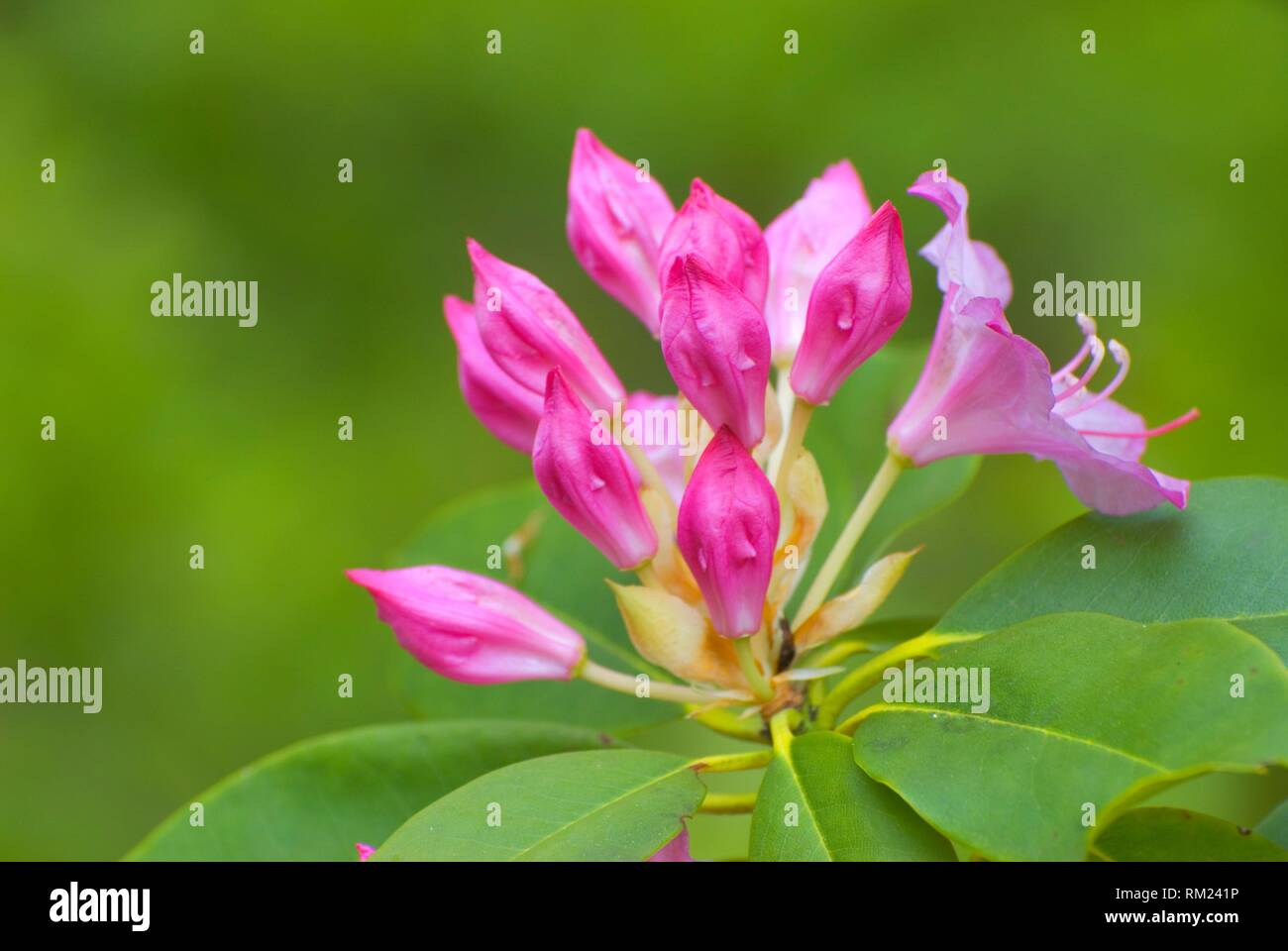 Pacific rhododendron (Rhododendron macrophyllum), Mt Hood National Forest, Oregon. - Stock Image
