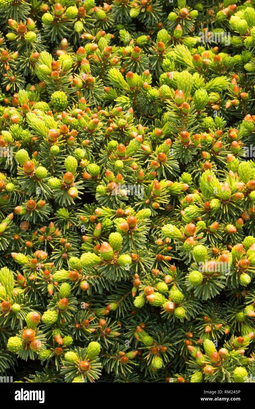 White spruce (Picea glauca), Oregon Garden, Silverton, Oregon. - Stock Image